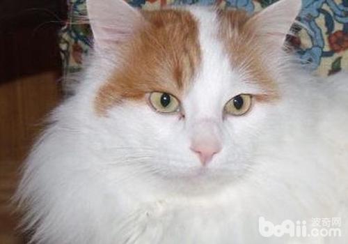 猫瘟的治疗注意事项-猫咪常见病