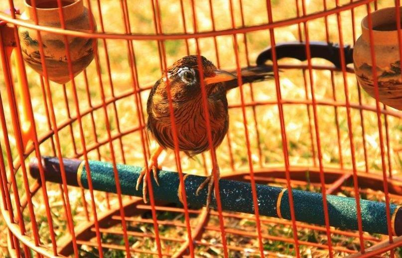 鸟类泛酸缺乏症